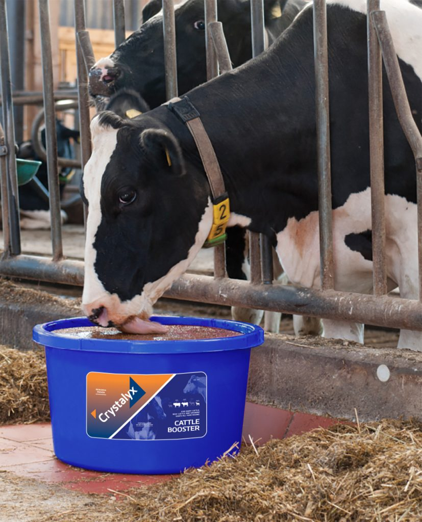 Cattle Booster Holstein New Tub Photograph