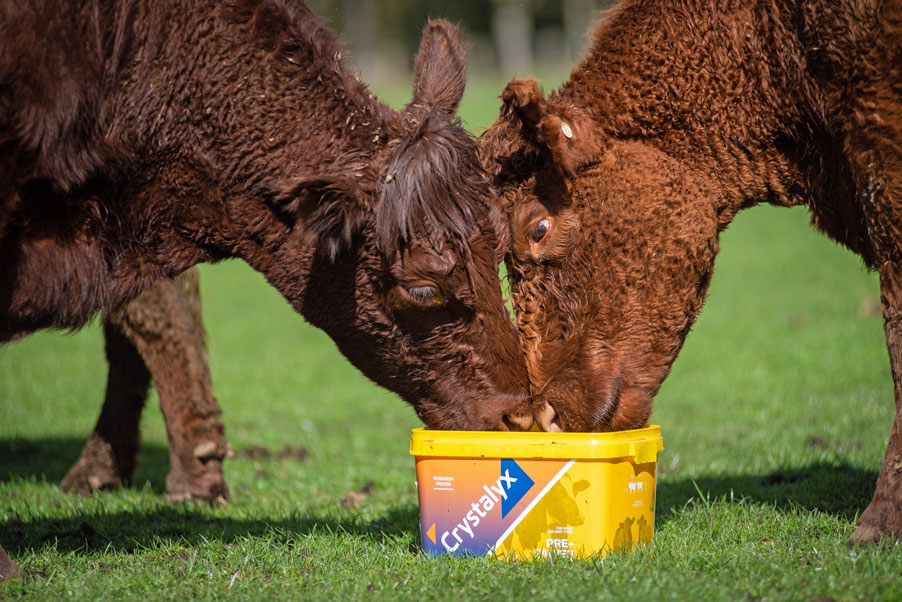 Crystalyx Pre-Calver, molasses feed mineral cattle lick