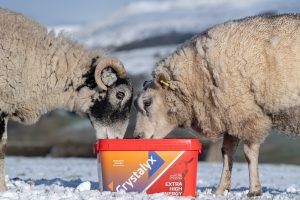 Beltex and Swaledale ewes eating from a High Energy feed block.